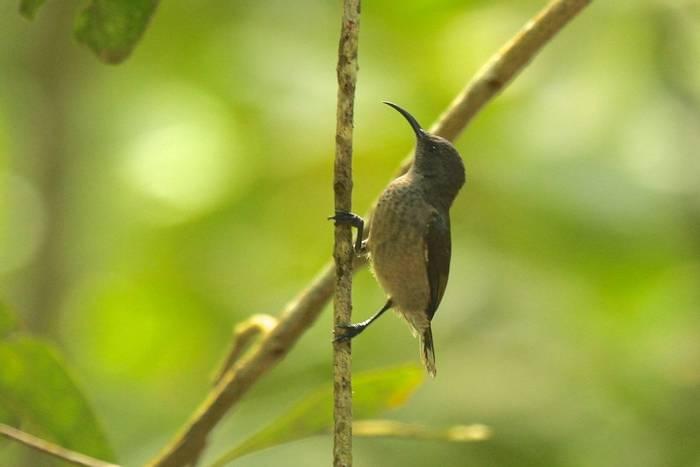 Seychelles Sunbird (Andrew Lapworth).jpg