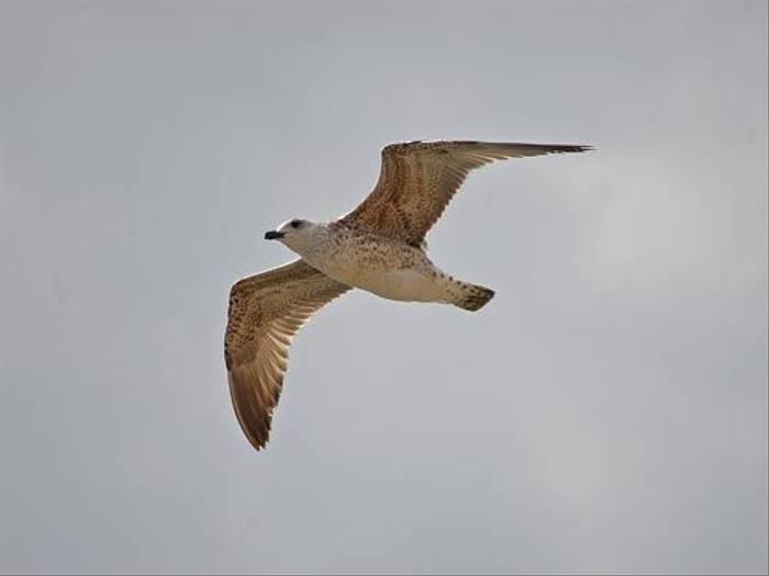 Yellow-legged Gull (David Morris)