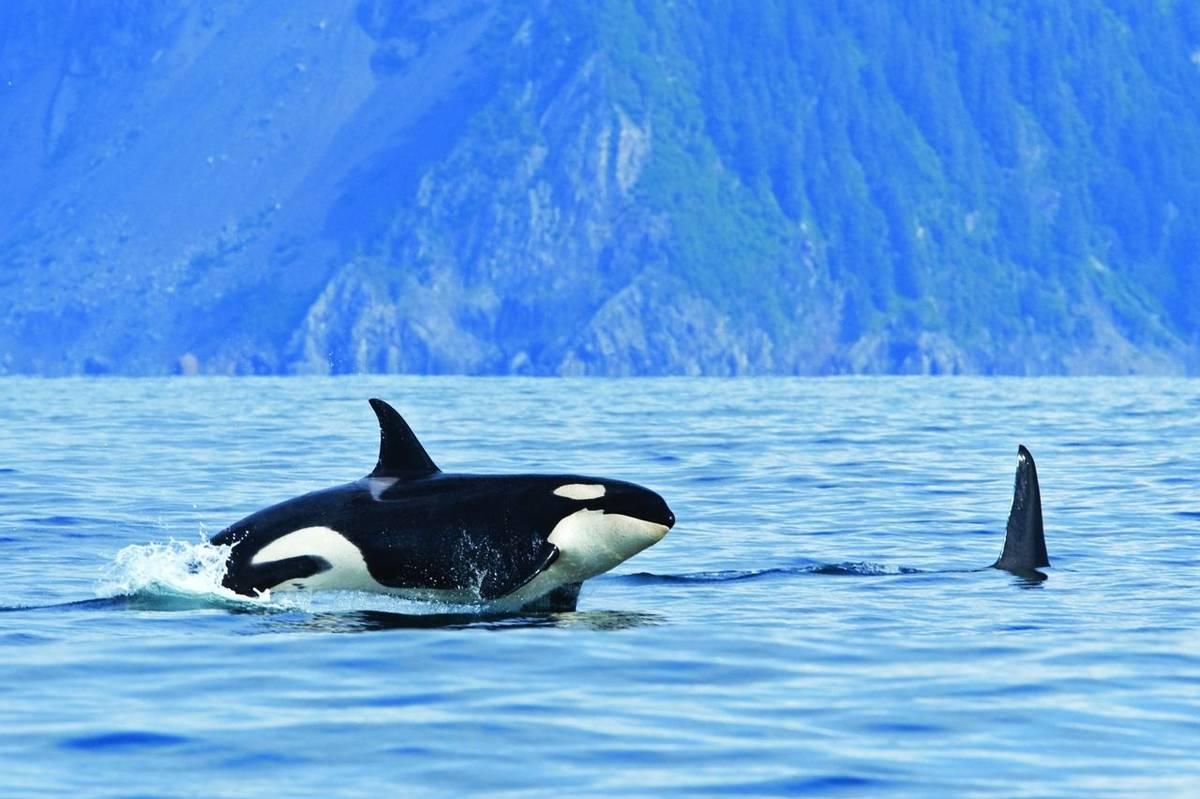 killer whale, orca, orcinus orca, Alaska