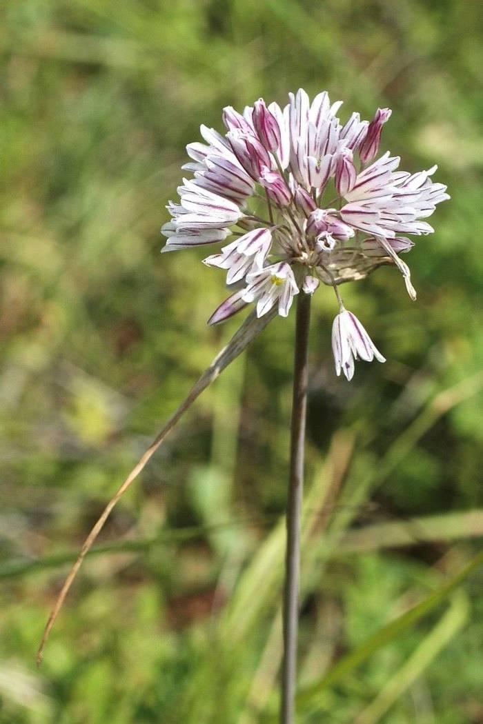 Allium melanantherum (Alan Outen)