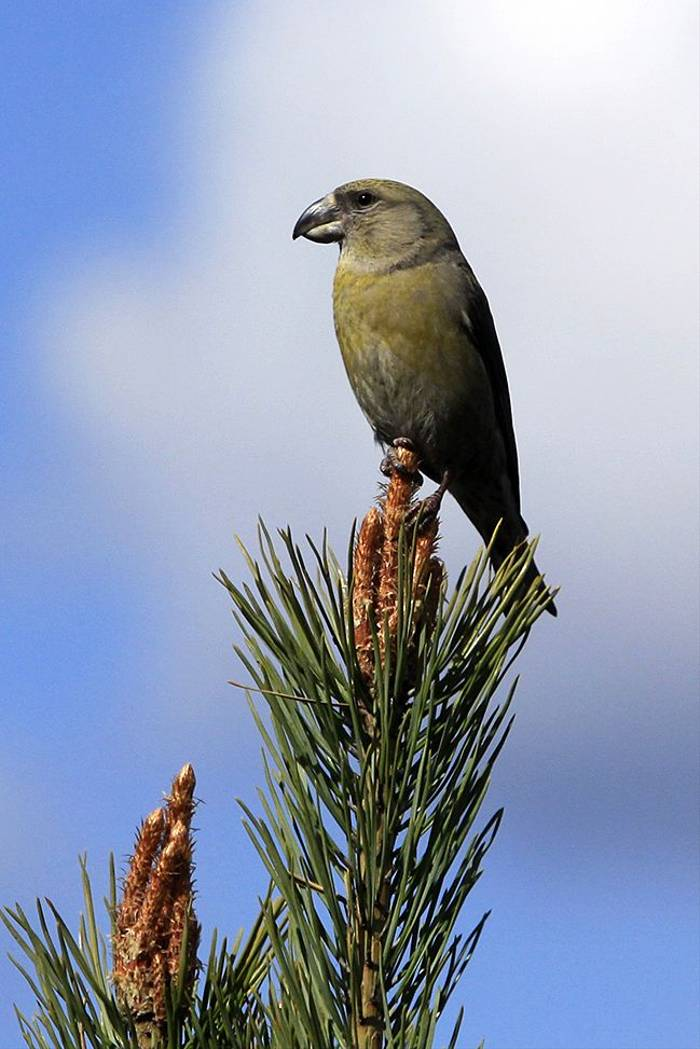 Parrot Crossbill female (Daniel Green)