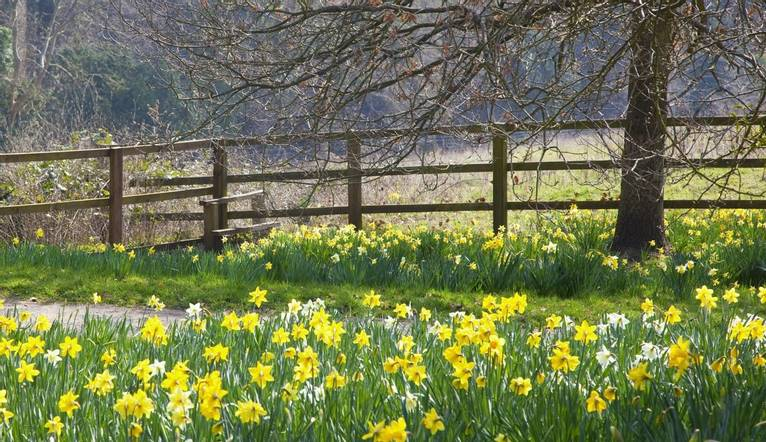 Springtime with daffodils lining a footpath in the Buckinghamshire countryside.