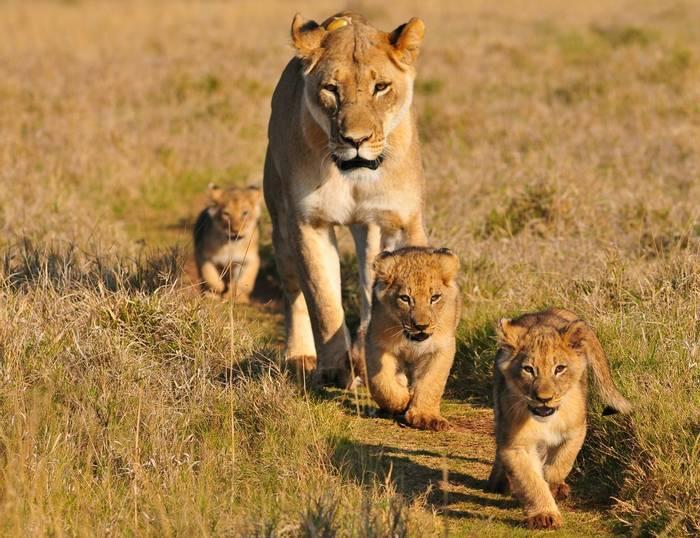 African Lioness & cubs shutterstock_221311156.jpg