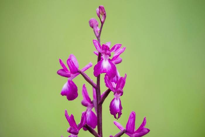 Jersey Orchid