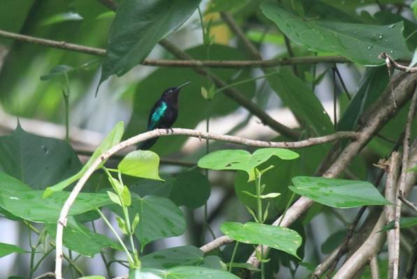 Purple-throated Carib, St Lucia