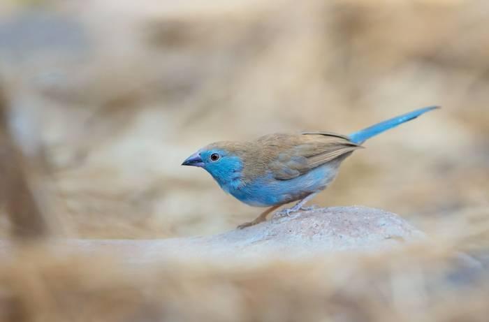 Blue Waxbill, Victoria Falls, Zimbabwe shutterstock_452244181.jpg