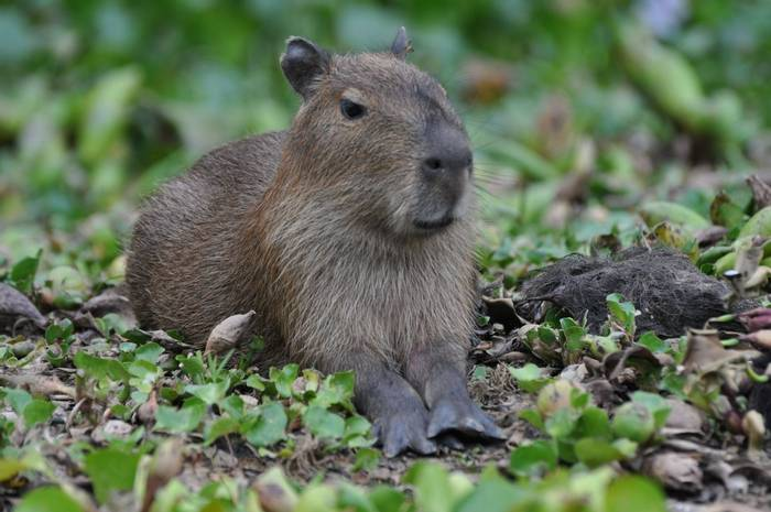 Capybara (Sue Edwards)
