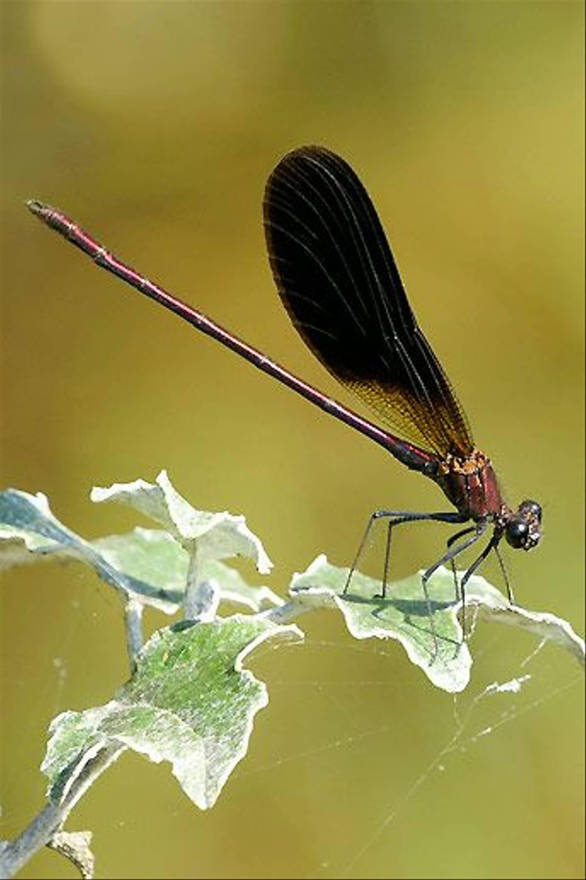 Copper Demoiselle male (Ian McColl)