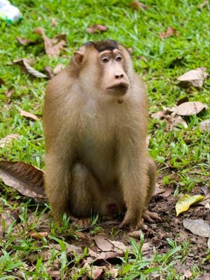 Pig-tailed Macaque (Mike Galtry)