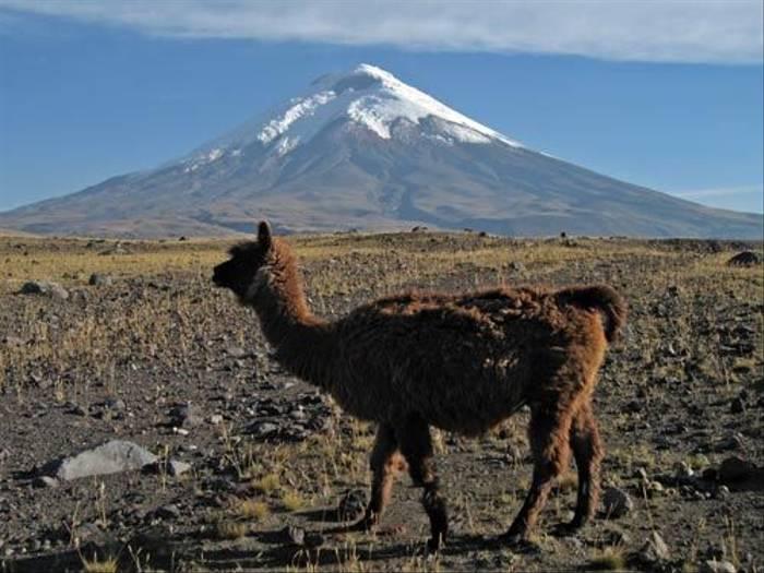 Cotopaxi Volcano and Llama (Byron Palacios)