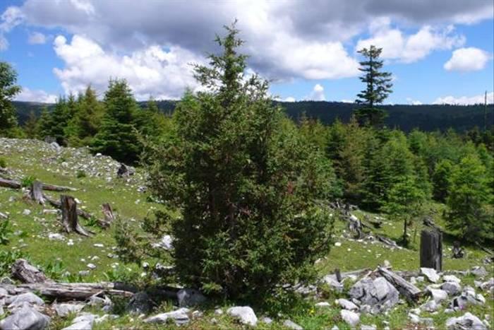 Juniperus sp. - nr. Tienshe lake, S.Zongdian (Phillipe de Spoelberch)