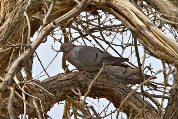 Eversmann's Stock Dove (Alan Curry)