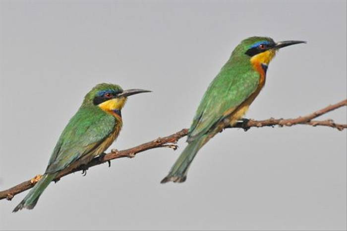Blue-breasted Bee-eater (Tim Melling)