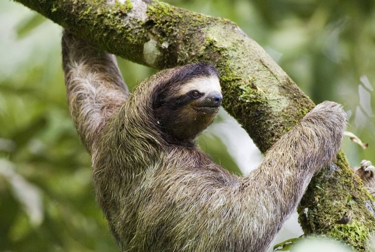 Three-toed sloth by David Tipling.jpg