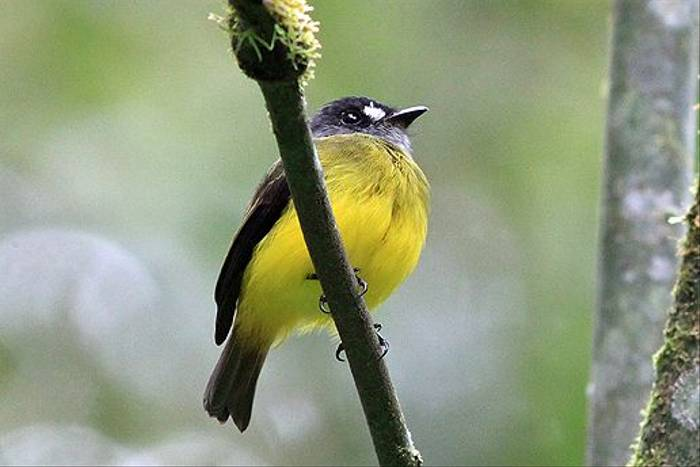 Ornate Flycatcher (Robert Davidson)