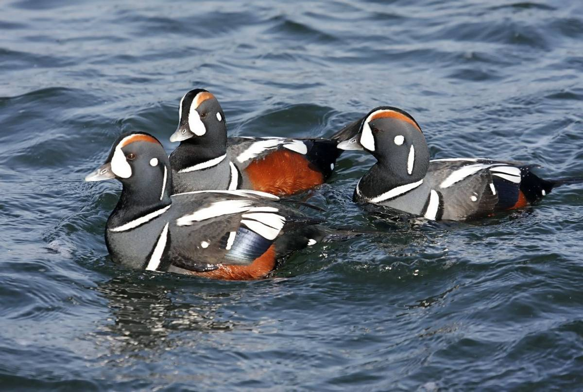 Harlequin Ducks. Shutterstock 24709375