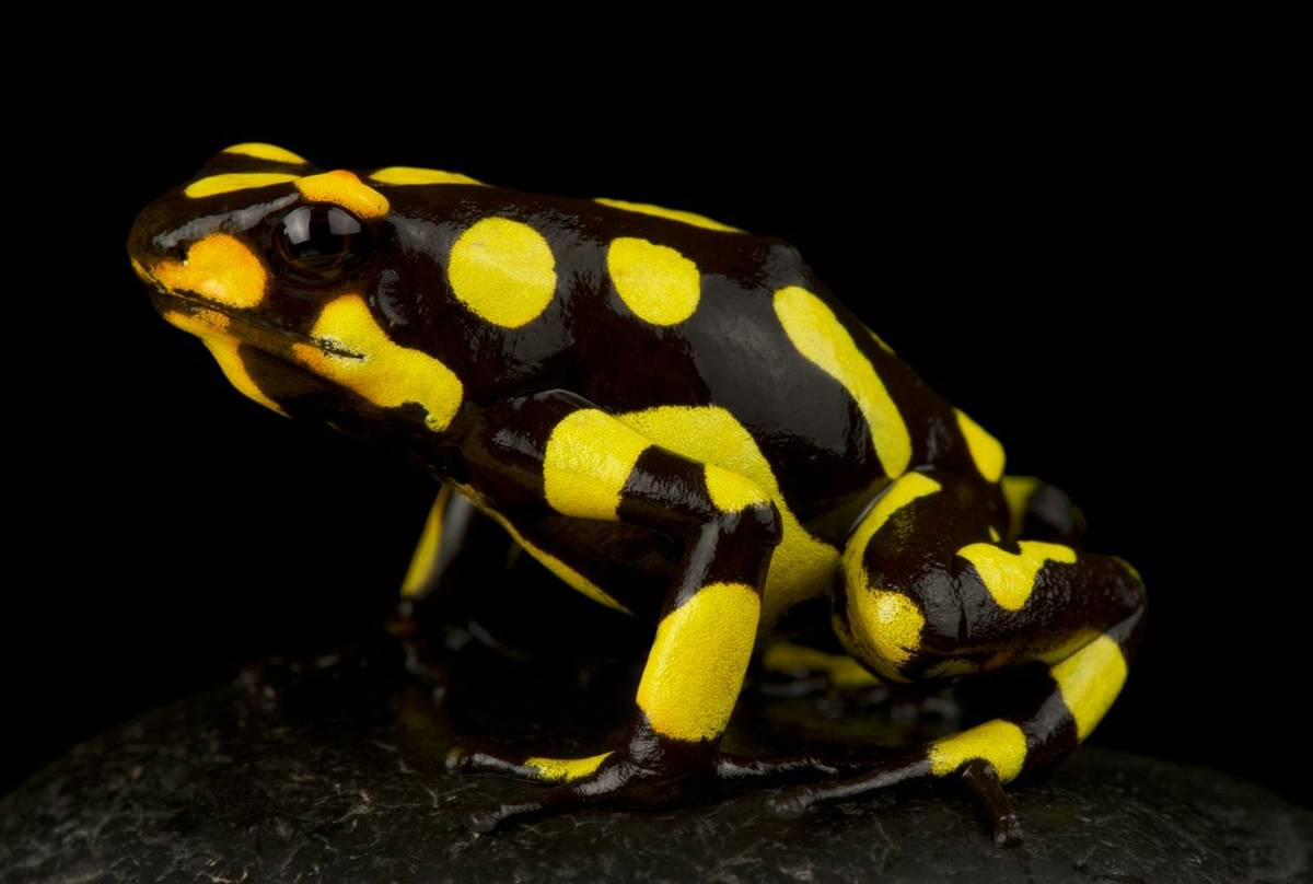 Harlequin Poison Frog (Oophaga histronica)