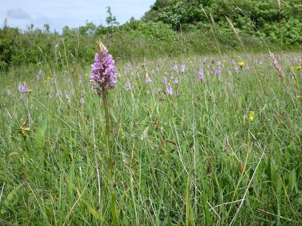 Field Full of Spotted Orchids (Ed Drewitt)