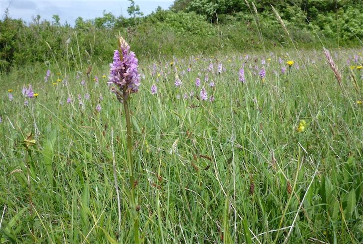 Field Full of Spotted Orchids (Ed Drewitt)