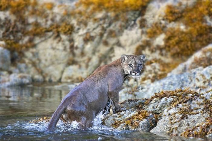 Cougar (Gill Merritt)
