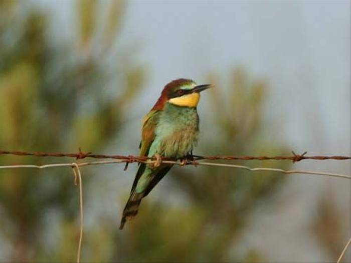 European Bee-eater (Peter Dunn)