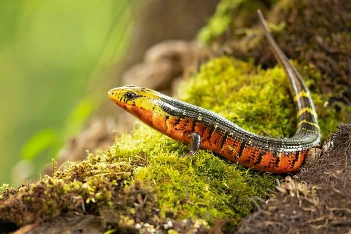 Rainbow Lizard, Panama shutterstock_1365148181.jpg