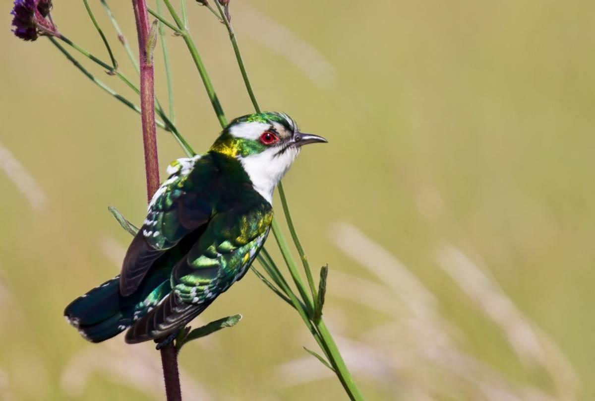 Diederick Cuckoo South Africa Shutterstock 130853390