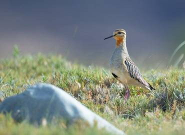 Argentina - The Birds of the High Andes
