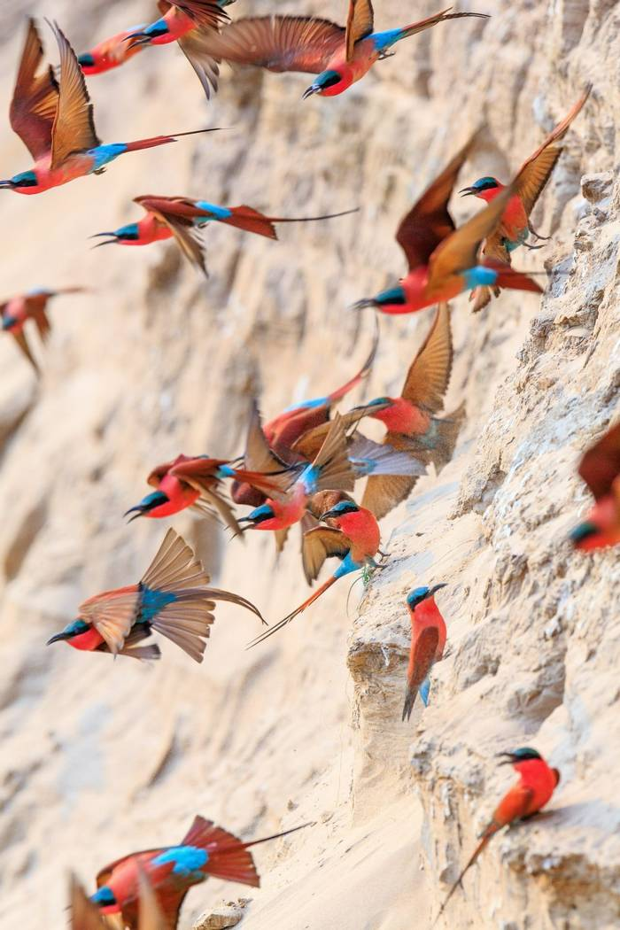 Northern Carmine Bee Eater, South Luangwa, Zambia Shutterstock 625696898