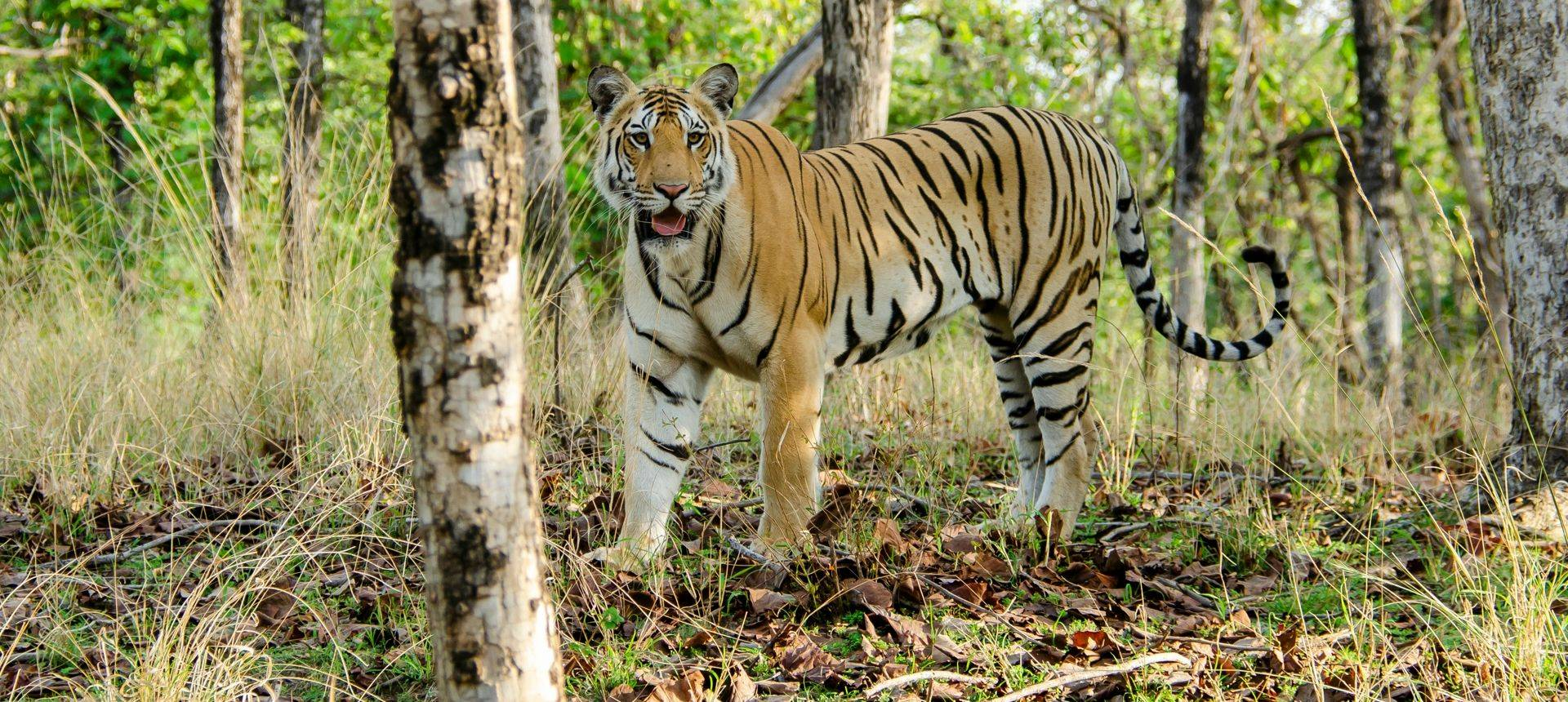 Tiger, Pench, India Shutterstock 1161956254