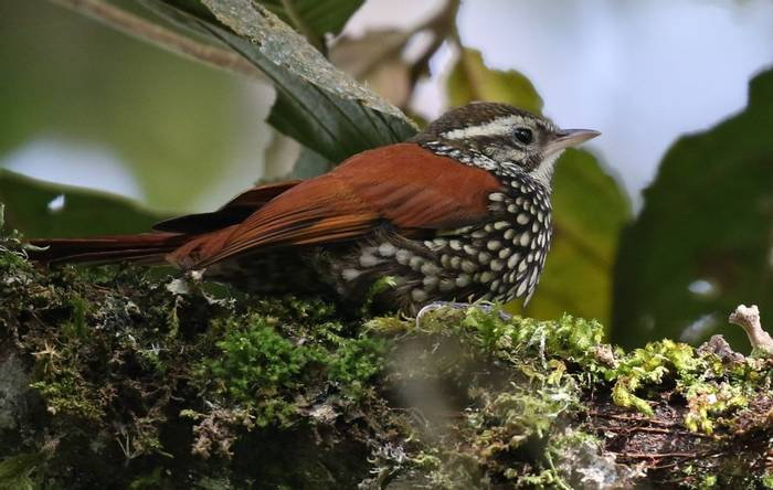 Pearled Treerunner   Rio Blanco, Colombia Birding Tour Birdwatching Tour Wild About Colombia (Robin Smith)