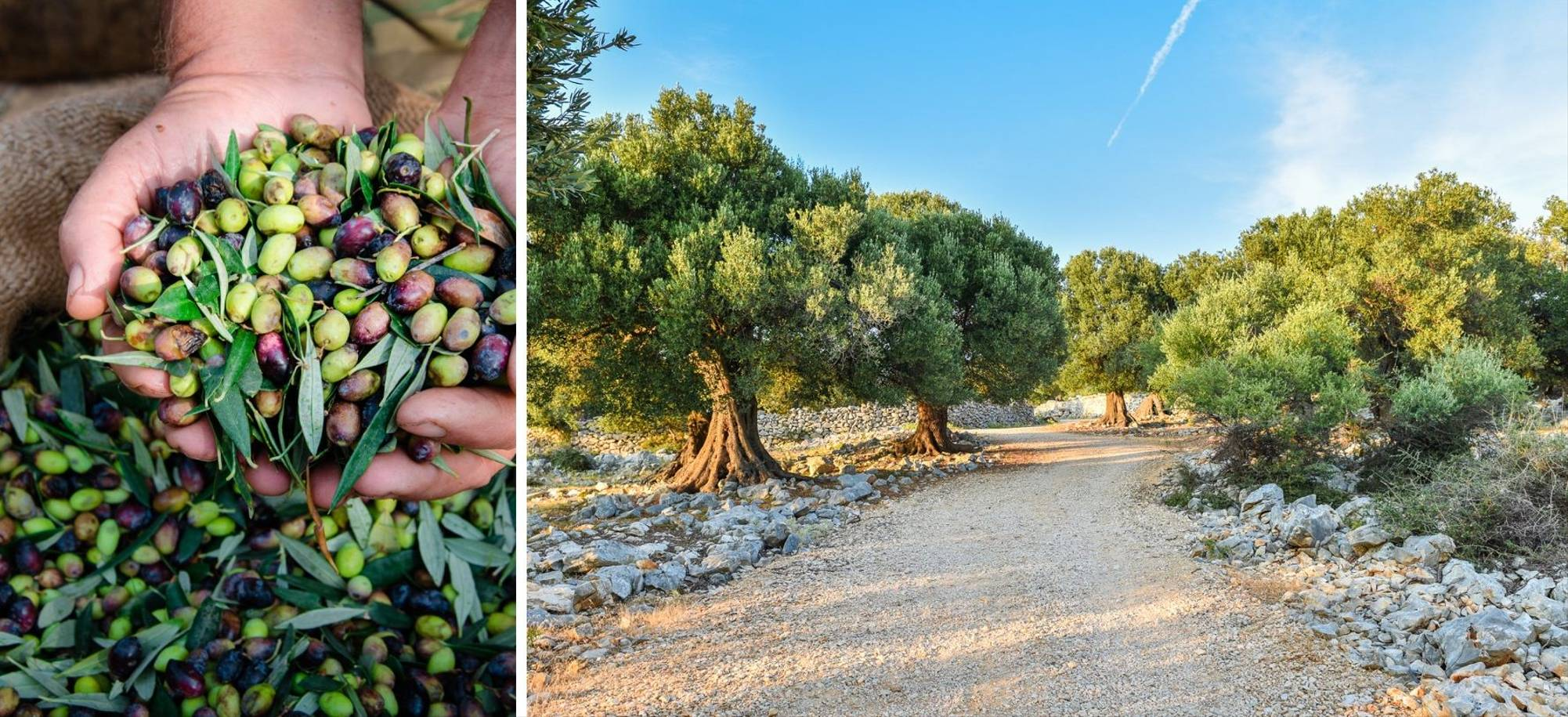 25 Day - Katakolon (Olympia) - Olive groves - Itinerary Desktop 14.jpg