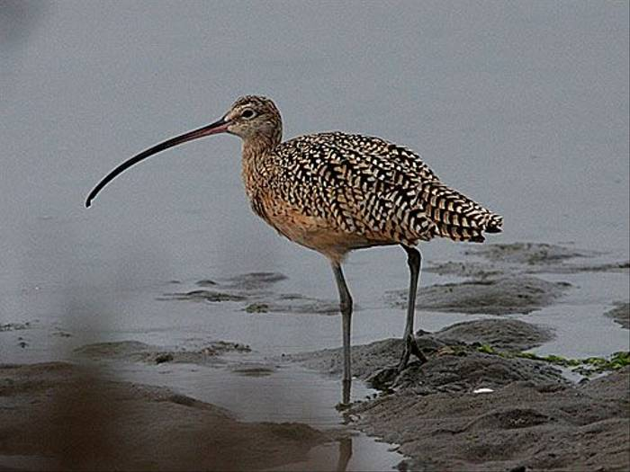 Long-billed Curlew  (Peter Dunn)