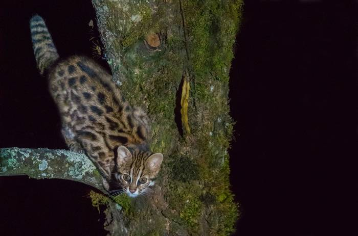 Leopard Cat (Tim Melling)
