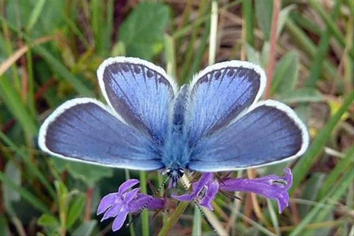 Silver-studded Blue (Tom Brereton)