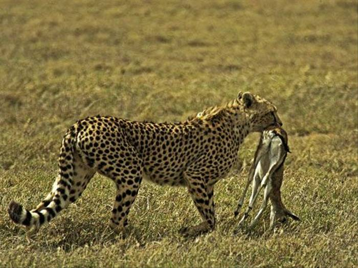 Cheetah with prey (Mervyn Seltzer)