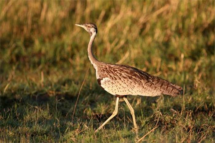 Black-bellied Bustard (Grant Atkinson)