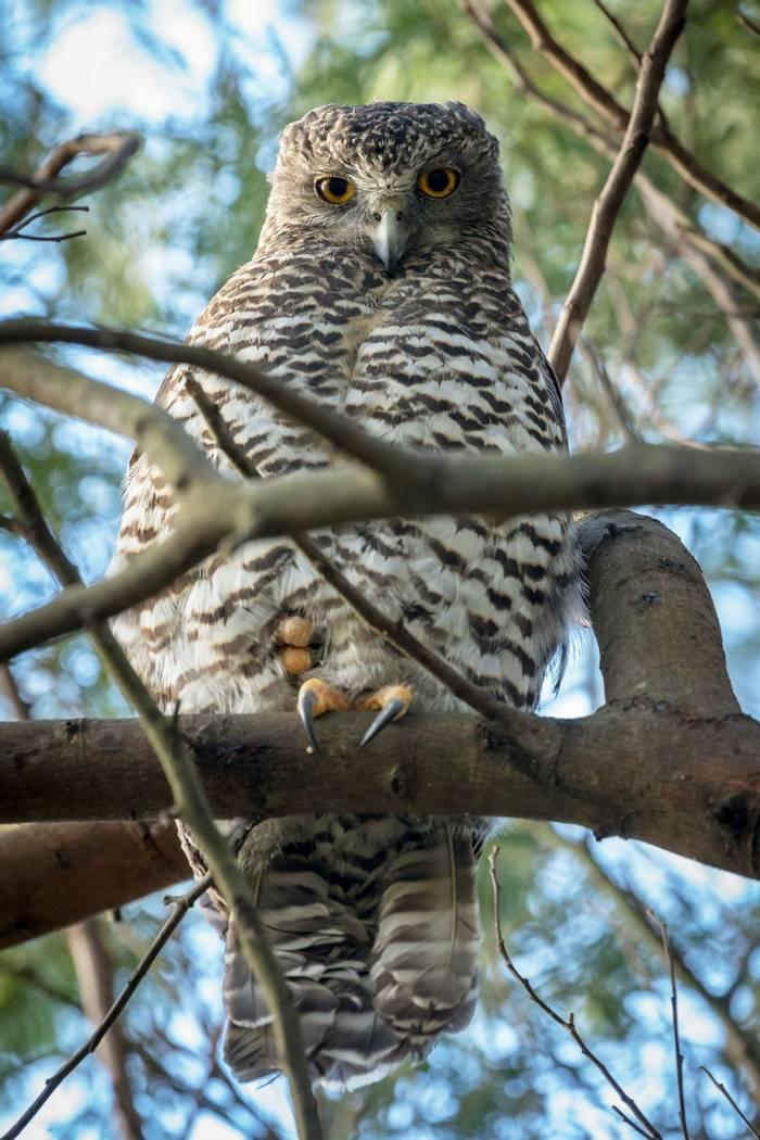 Powerful Owl, Australia shutterstock_1052332799.jpg