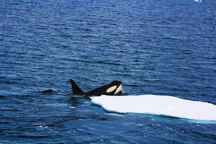 Orca, Antarctica Shutterstock 775911178