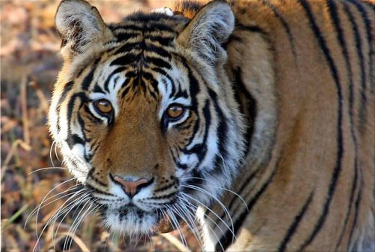Tiger (Michael Haley)
