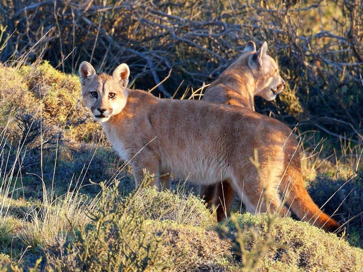 Pumas (Richard Smith)