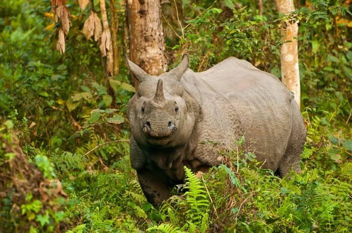 One-horned Rhinoceros, Kaziranga, Indiashutterstock_132264197.jpg
