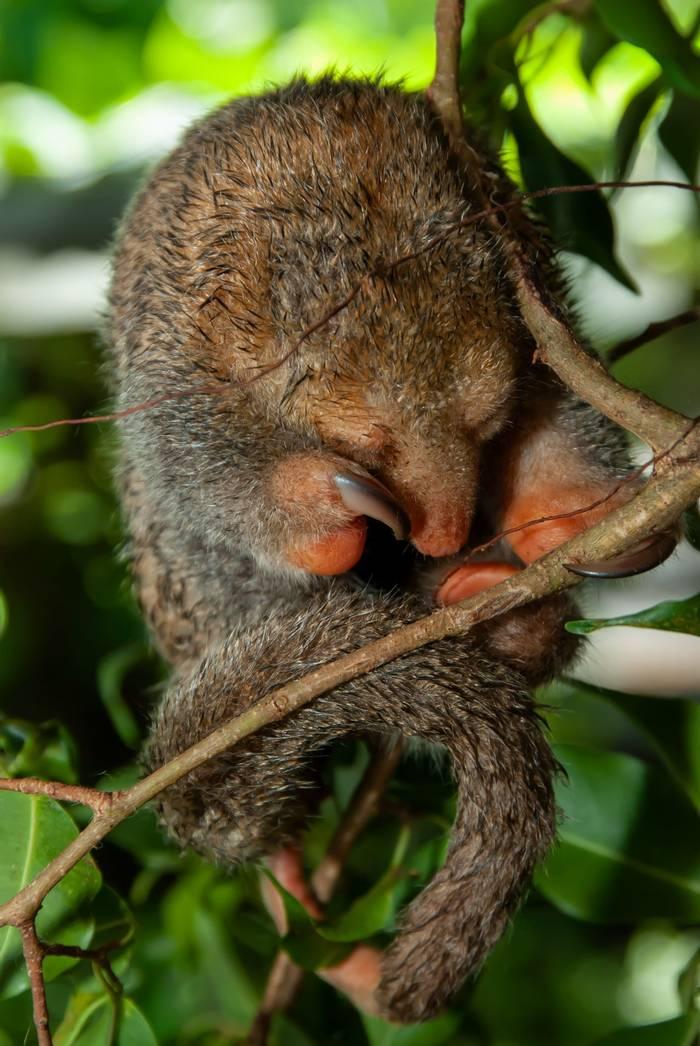 Pygmy Anteater sleeping, Guyana shutterstock_1536106148.jpg