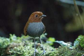 Bicoloured Antpitta by Christine Miller