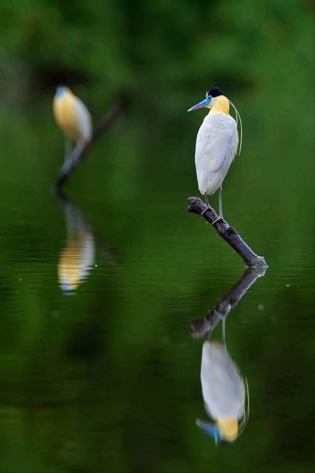 Capped Herons (Tom Ambrose)