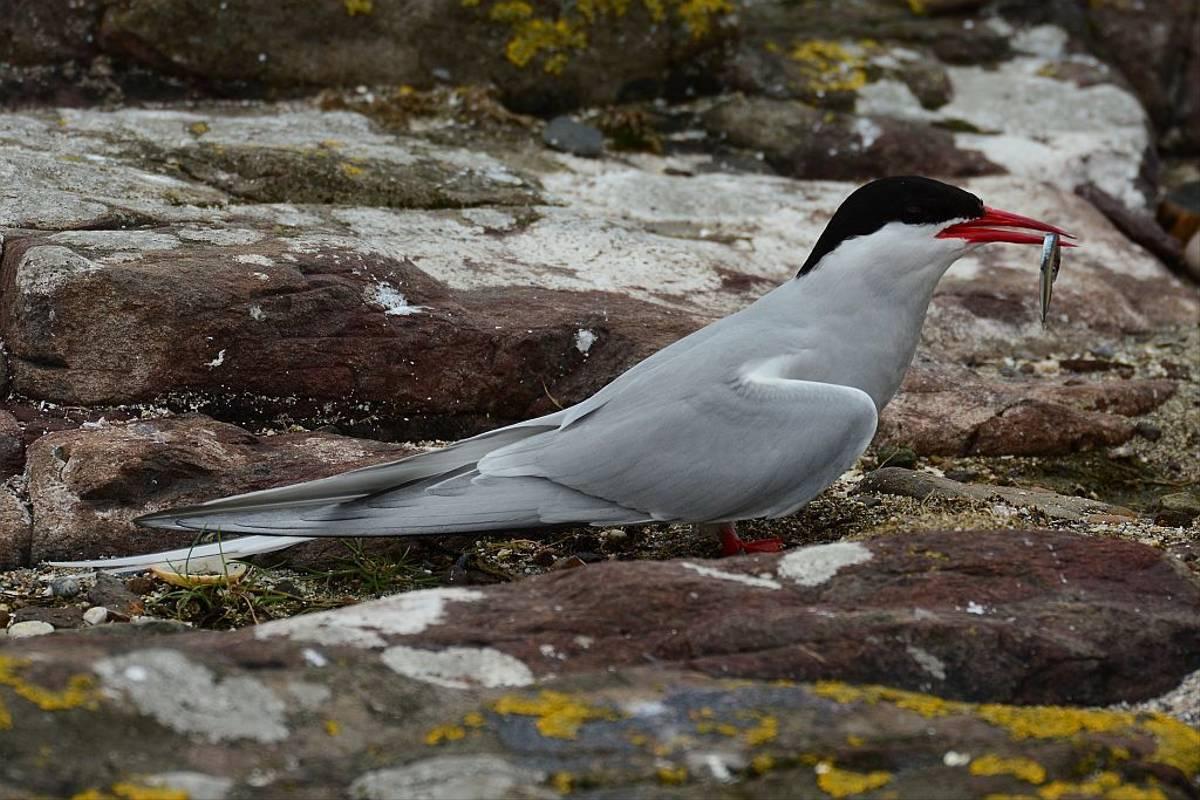 Arctic Tern - Tim Dean