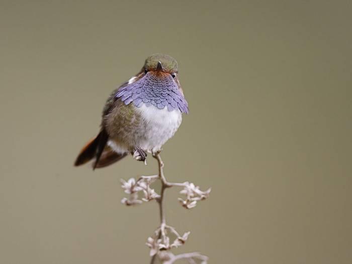 Volcano Hummingbird (Kevin Elsby)