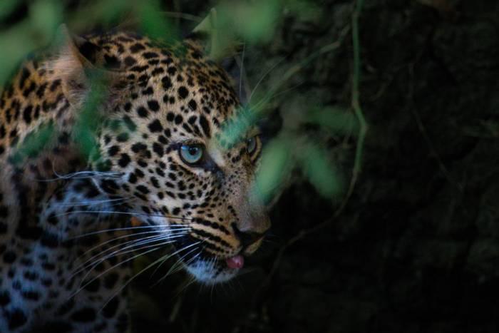 Leopard (John Haskew) (2).jpg