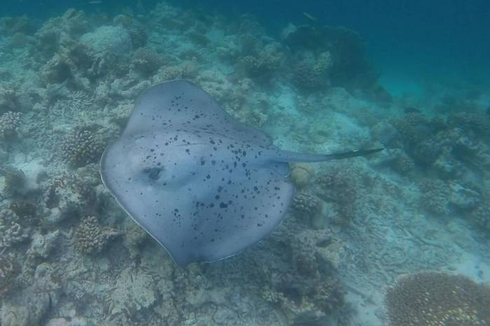 Black-blotched Stingray (Kerrie Porteous)