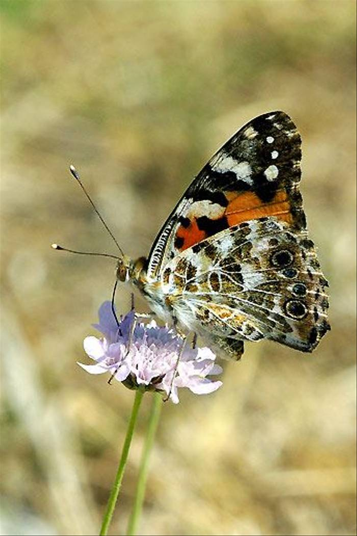 Painted Lady (Ian McColl)